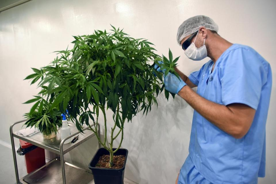 An employee of Fotmer SA, an enterprise that produces cannabis for medical use, make cuttings of a mother plant to produce clones, in Montevideo, Uruguay,Tuesday, Jan. 29, 2019. No company has yet to begin large-scale export operations, but many say that selling medical cannabis oil beyond the country's local market of 3.3 million inhabitants is key to staying ahead of the tide and transforming Uruguay into a medical cannabis leader along with the Netherlands, Canada and Israel. (AP Photo/Matilde Campodonico)