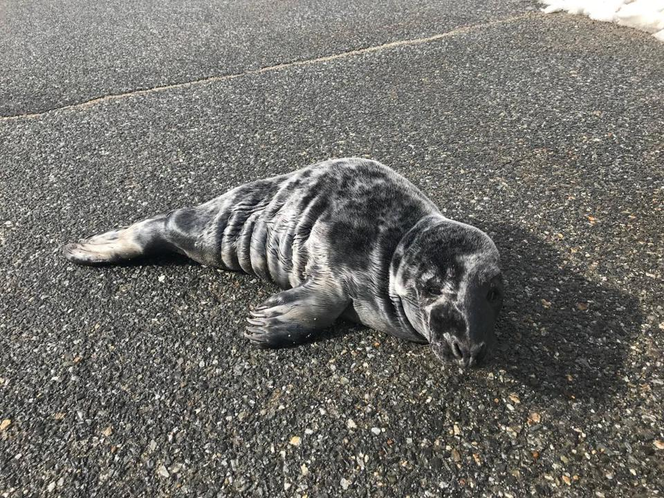 The Seacoast Marine Mammal Rescue Team found this seal pup in the middle of a Salisbury street earlier this week.