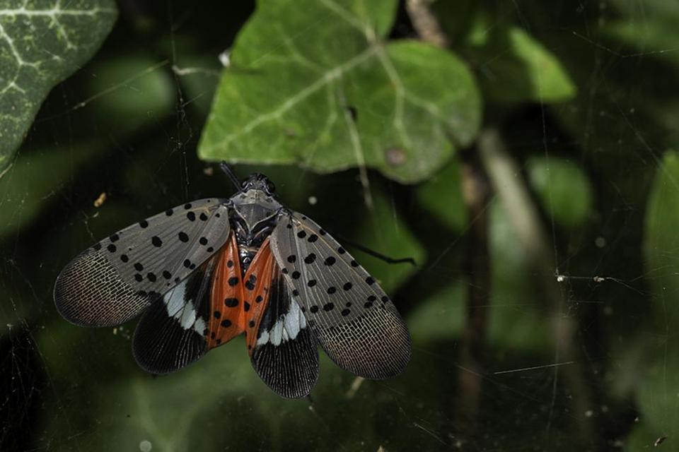 State officials ask residents to check plants for invasive spotted lanternfly