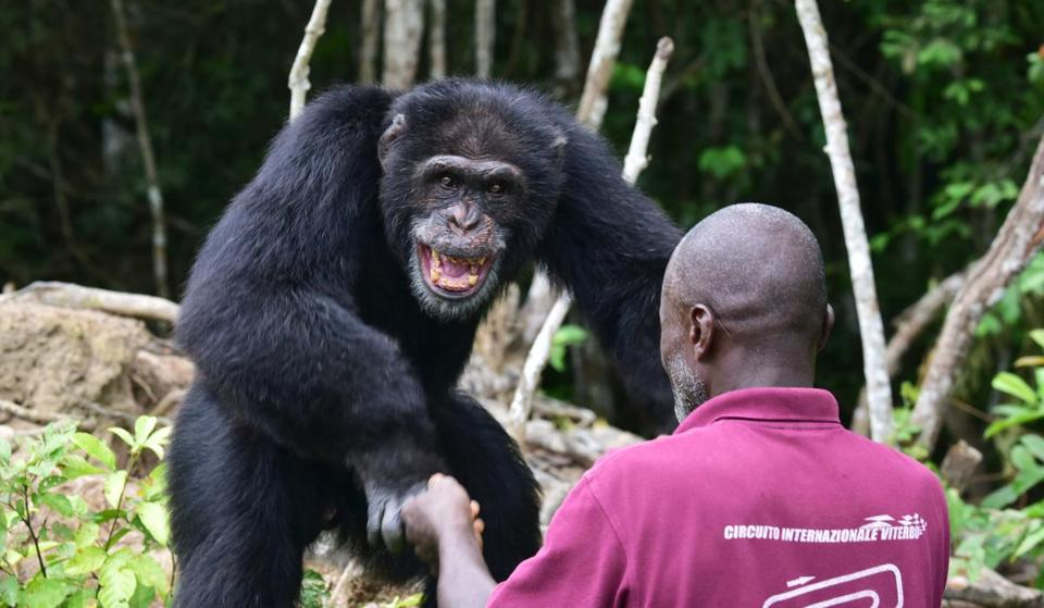A chimp named Ponso interacting with a caregiver on Chimpanzee Island in Ivory Coast in 2017.