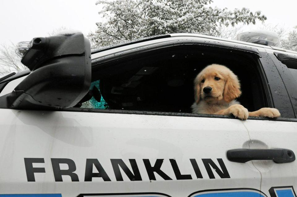 This young golden retriever will serve as a therapy dog with the Franklin Police Department.