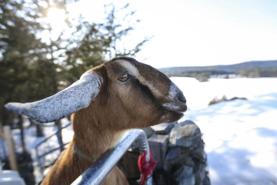 Lincoln, a 3-year-old Nubian goat, was sworn in as the mayor of Fair Haven, Vermont, on Tuesday evening.