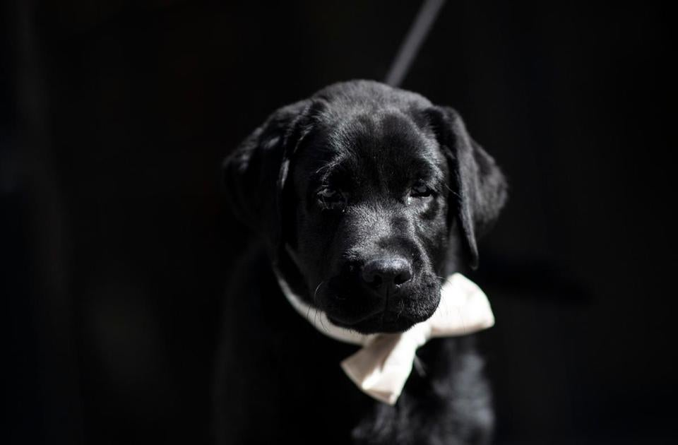 14-week-old Labrador retriever Rommy at the at the American Kennel Club's Museum of the Dog on Wednesday.