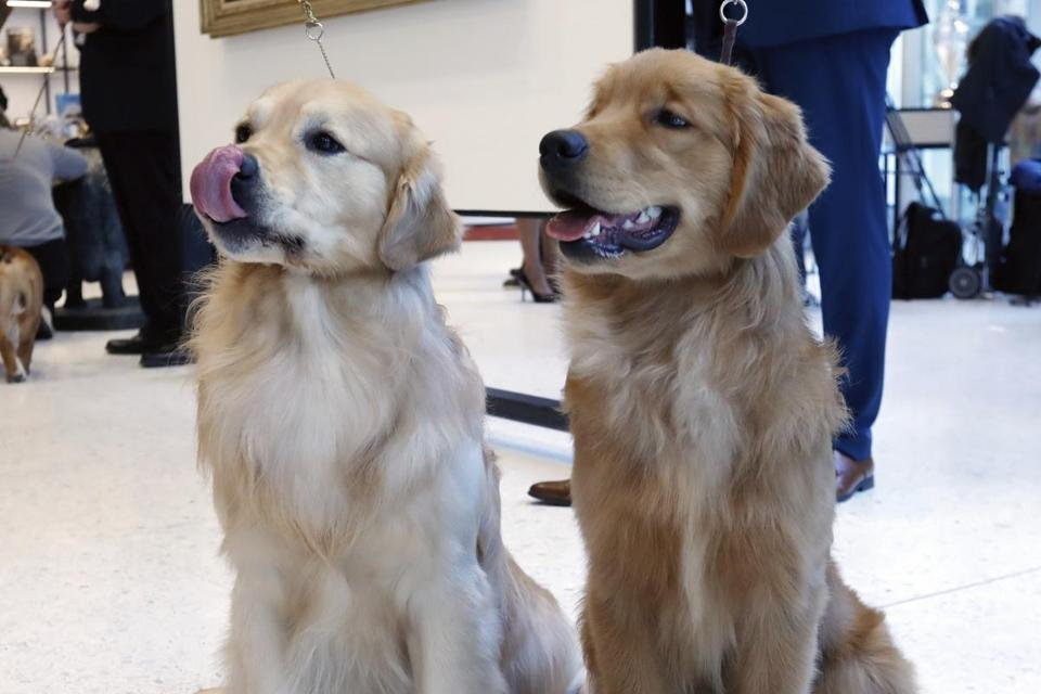 Golden retrievers Alistair, age 2 1/2, left, and Chuker, age 7 months, posed for photos at the Museum of the Dog.