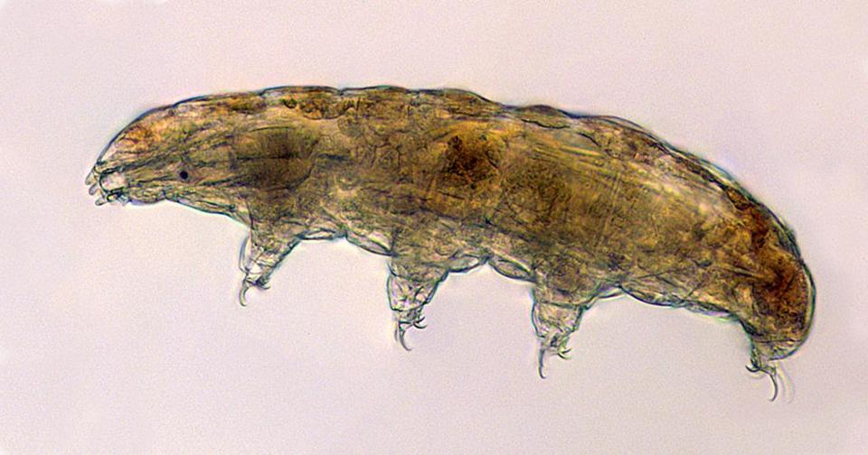 "This undated microscope photo provided by Thomas Boothby in March 2019 shows a tardigrade, also known as a ""water bear."" The small animals, about the size of a period, are able to survive extreme heat, cold, radiation and even the vacuum of space. (Thomas Boothby via AP)"
