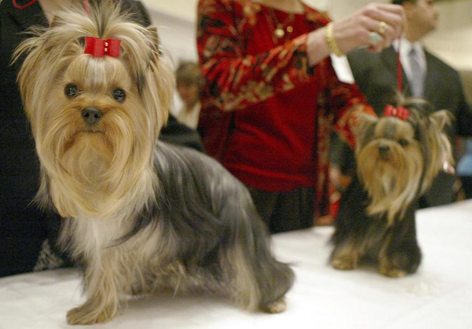 Two Yorkshire Terriers, as pictured in 2004.