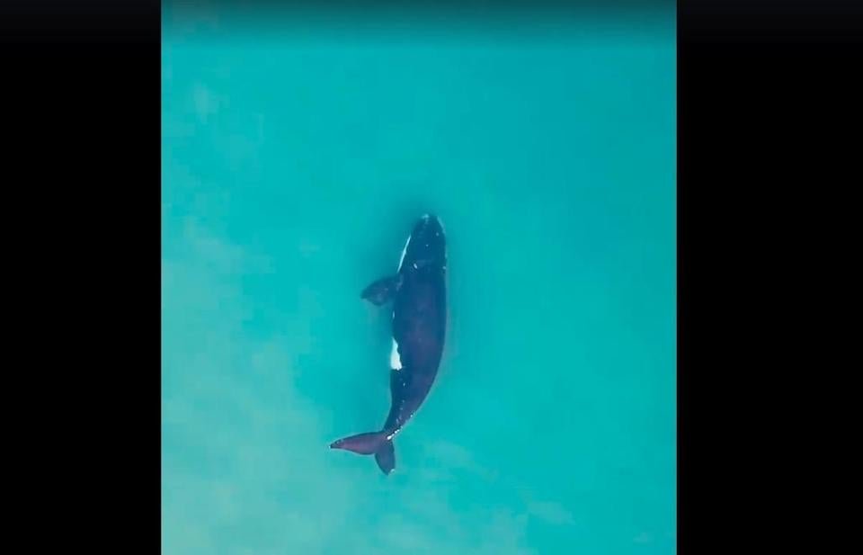 Watch this drone video of a right whale twirling and enjoying the waters off Cape Cod