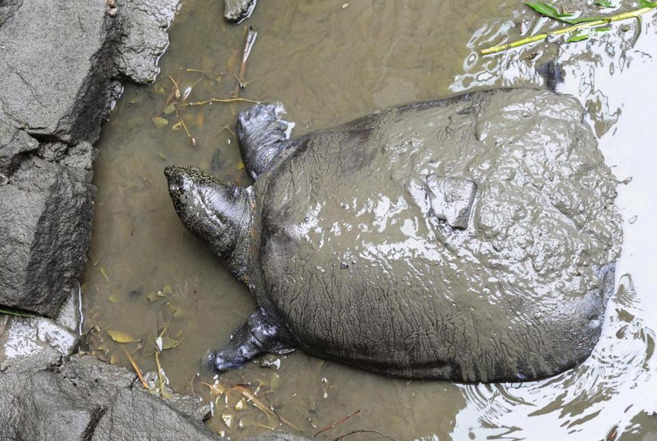 The world's largest turtle is on the brink of extinction after a female specimen died on April 13 at Suzhou Zoo, leaving behind just three known members of the species.