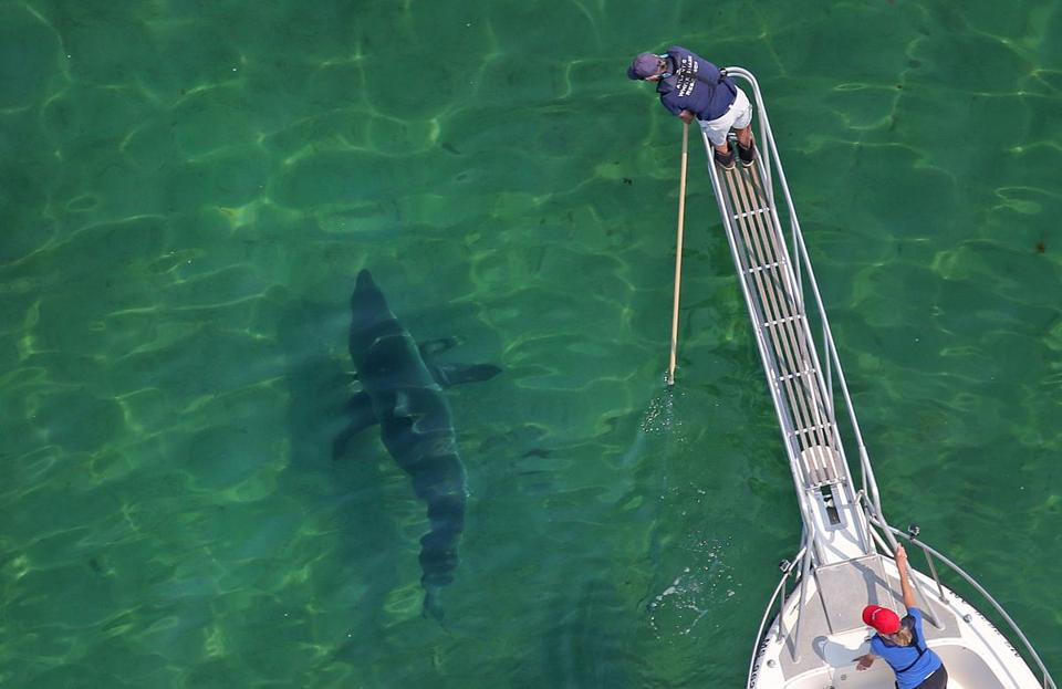 The Atlantic White Shark Conservancy tagged a shark last year.