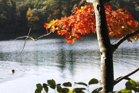 NO STORY FEATURE --Concord , MA -- Oct 11, 2011 - A swimmer makes a ripple on Walden Pond amid slowly turning foliage and 64 degree water, on a mild October morning, Tuesday. (globe staff photo:Joanne Rathe section: metro no reporter: FEATURE stand alone)