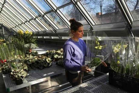 BOSTON, MA 01 / 06 / 2012: Taylor Johnson in the greenhouse at The Isabella Stewart Gardner museum getting ready, the big run up to the opening of the Gardner's new building . ( David L Ryan / Globe Staff Photo ) SECTION: LIFESTYLE TOPIC : REPORTER Geof Edgers