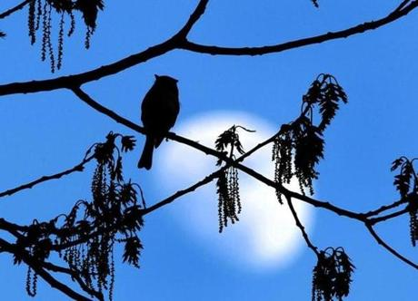 A Tufted Titmouse is perched in an oak tree as the moon rises at dusk in a Pembroke backyard. (May 13, 2011)