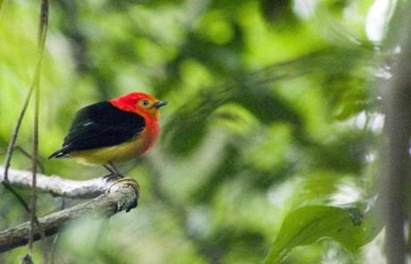 In the jungle, the band-tailed manakin is often heard but rarely seen.