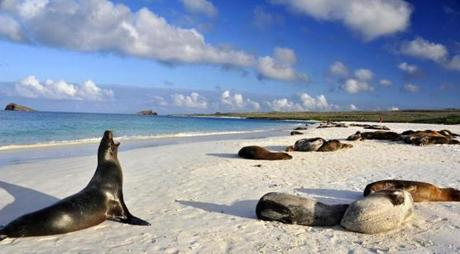 Sunning Sea Lions in Gardner Bay on Espanola Island in the Galapagos archipelago.