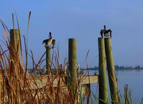 Brown pelicans dry their wings on pilings along the Apalachicola River. The town was once a busy port and known for its sponge industry.