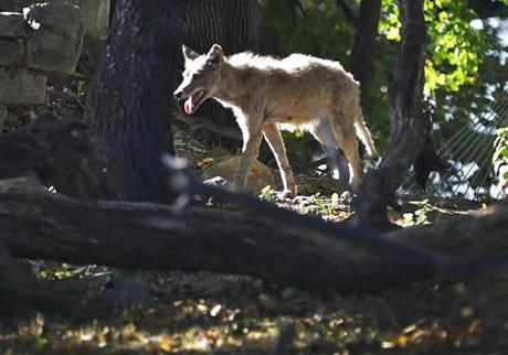 A coyote was first seen near Mattapan train tracks before it went through backyards. The nearby Mildred Avenue Middle School went on lockdown as Boston Police search for the animal.