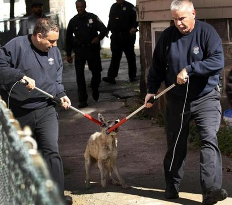 City of Boston Animal Control Officers bring the coyote, which was caught at 12 Hosmer Street in Mattapan, to their city vehicle.