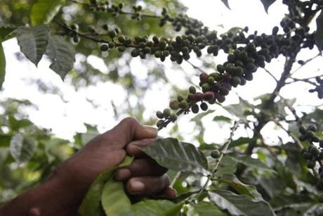 A farmer in Cachote shows visitors ripening coffee cherries on his trees. The mountain community of 30 families has banded together to preserve their cloud forest environment and offer light eco-tourism.