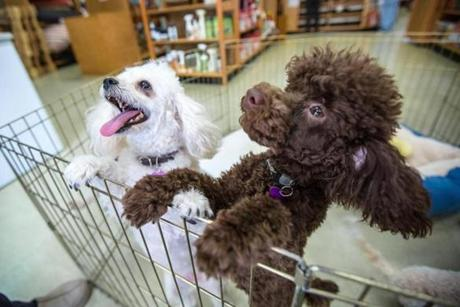 Toy poodles lined up for treats.