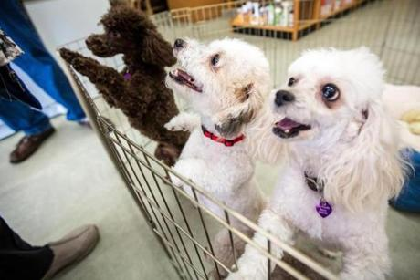 The poodles are all up for adoption through Toy Poodle Rescue.