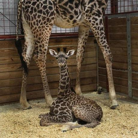 A giraffe was born at Franklin Park Zoo on Nov. 27, weighing 165 pounds and standing 6 feet 5 inches tall. Her mother is Jana, and dad is Beau. The baby needs a name and the public is invited to help.