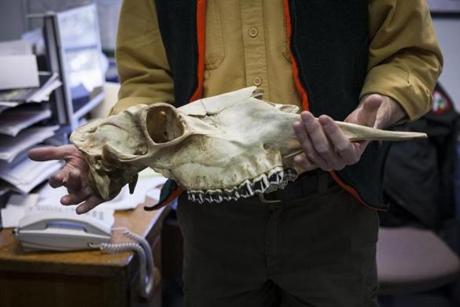 Lee Kantar, holding a moose skull, says Maine has far more moose than thought but urges caution on hunting permits.
