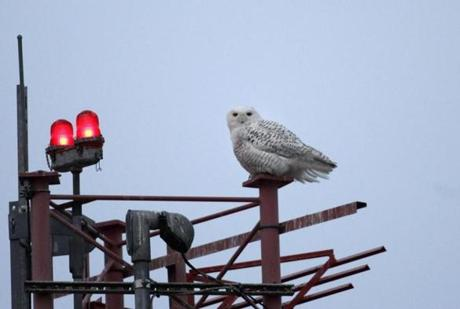 Between 1990 and 2012, 73 snowy owls have been struck by airplanes nationwide, according to Federal Aviation Administration and Logan records.