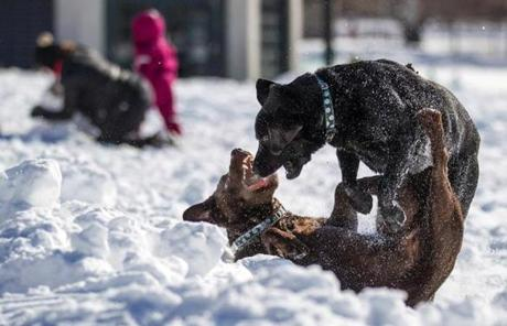 Two dogs played in the snow in Boston Common.