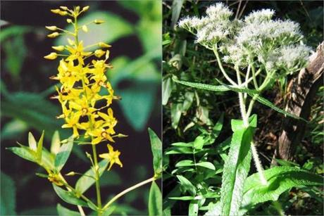 Swamp candles (left) and boneset