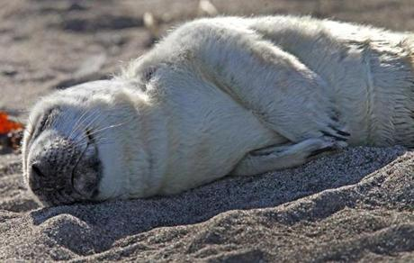 A gray seal pup was in distress on Hull Beach and was rescued by New England Aquarium staff.