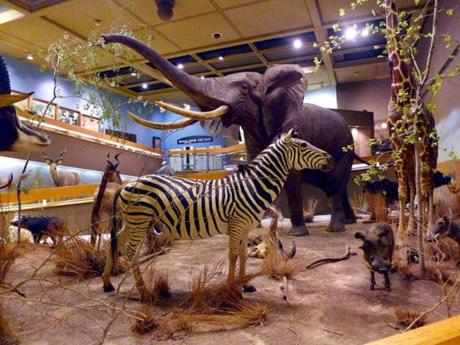 The wildlife display in the Springfield Science Museum's African Hall.