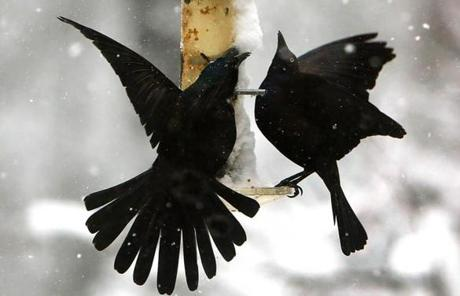 Birds fed at a birdfeeder in Pembroke during the storm.