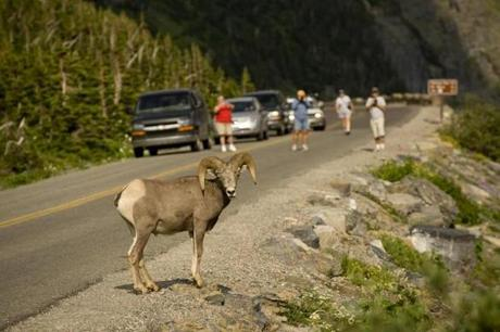 Glacier National Park's diverse habitats are home to nearly 70 species of mammals.