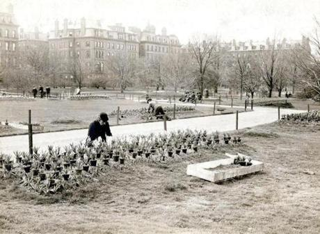 April 29, 1910:  Plants grown in the city of Boston greenhouses located on East Cottage Street in Dorchester got their first showing for Spring at the Public Garden. The hyacinths were carefully spaced between the tulips. The Public Garden was created in 1837.