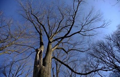 The elm survived the New England Hurricane of 1938 and outbreaks of Dutch elm disease in the 1940, '50s and '60s.