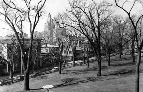 The elm was one of 13 planted in 1905 as part of a Frederick Law Olm­sted design.