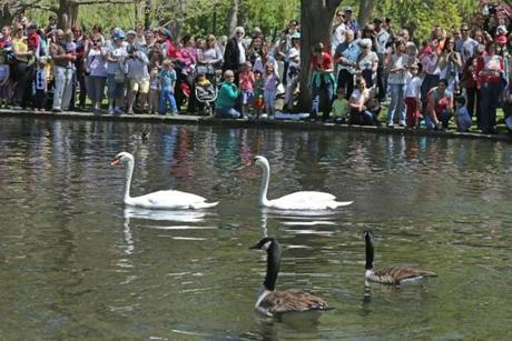 BOSTON , MA. 05/ 07/13: Swans Romeo and Juliet return to the Boston Public Garden for a sure sign of spring ( David L Ryan/Globe Staff Photo ) SECTION: METRO TOPIC 08swans(1)