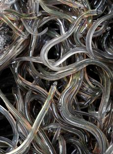 Coveted by the Japanese, small glass eels have made a number of Maine fishermen rich. These glass eels were caught in Maine's Penobscot River.