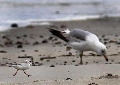 While piping plovers are nesting on Duxbury Beach, a bird monitoring program has been instituted to protect them.