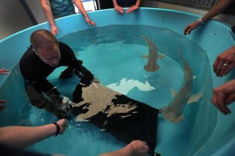 Aquarium workers unloaded the sharks from a pool in the cooled truck compartment after the trip.
