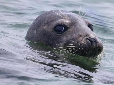 A gray seal pops out of the water while taking a swim in Nantucket Sound.
