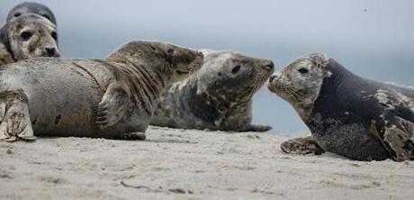 A group of gray seals hangs out on a sand spit in Nantucket Sound.