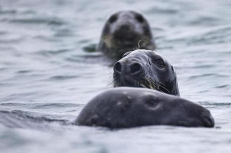 A group of gray seals swims off Muskeget Island. Fishermen say the seals are shrewd and brazen enough to steal fish right off their lines as they are being reeled in.