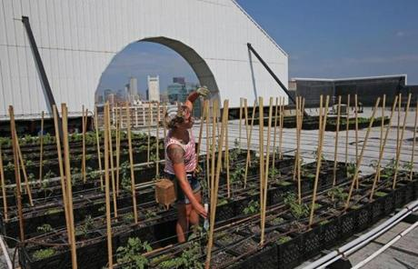 Courtney Hennessey, co-founder of the Higher Ground Farm atop the Boston Design Center, tended to tomato plants.
