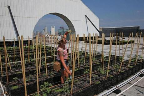 Courtney Hennessey of Higher Ground Farm cared for tomato plants on the roof of the Boston Design Center Wednesday.