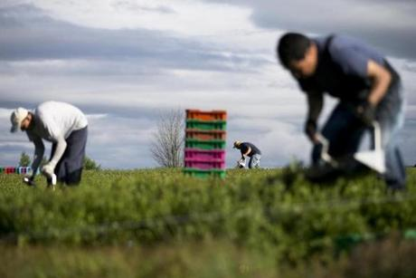 Workers in Maine filled hand-held scoops and poured blueberries into tubs — the first of more than 80 million pounds of berries to be harvested and frozen in the next few weeks.