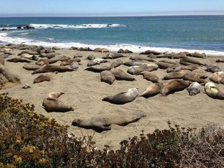 On Highway 1, elephant seals sun at Piedras Blancas.