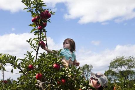 Josh Moriarty of Newburyport lifted his 2-year-old daughter, Maggie, so she could pick an apple at Russell Orchards.