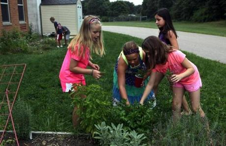 Girls picked parsley from the herb part of the garden, while the boys in the background looked for raspberries.