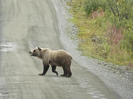 A bear on the road inside Denali National Park and Preserve.